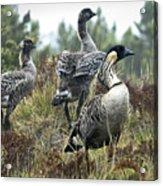 Nene Geese Acrylic Print