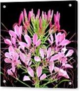 Neon Cleome Acrylic Print