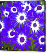 Neon Purple Cineraria Acrylic Print