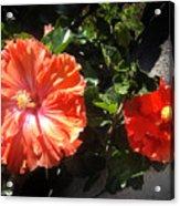 Neon-red Hibiscus Flowers 6-17 Acrylic Print