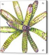 Neoregelia 'dangerous Dana' Acrylic Print