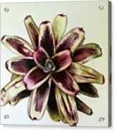 Neoregelia Painted Delight Acrylic Print by Penrith Goff