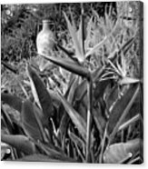 Nepenthe Bird Of Paradise B And W Acrylic Print