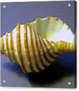 Neptune Whelk Seashell Acrylic Print