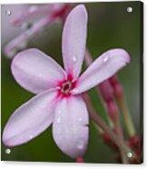 Nerium Oleander, Sri Lanka Acrylic Print
