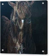 Nervous Colt  Milltown Fair Acrylic Print