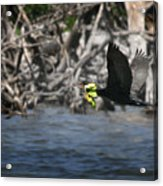 Nest Building Flaps Up Acrylic Print