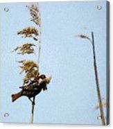 Nest Building Sparrow   Acrylic Print
