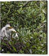 Nesting Chicks Acrylic Print