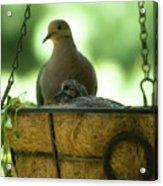 Nesting Doves, Hanging Basket, Balcony Garden, Hunter Hill, May  Acrylic Print