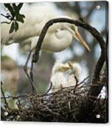 Nesting Egret Acrylic Print