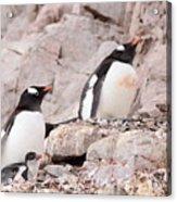 Nesting Gentoo Penguins Acrylic Print