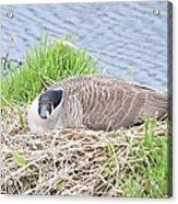 Nesting Goose Acrylic Print