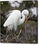 Nesting Great Egret Acrylic Print