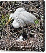 Nesting Great Egret With Chick Acrylic Print