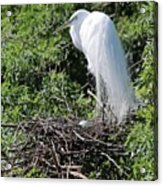 Nesting Great Egret With Egg Acrylic Print