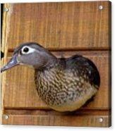 Nesting Hen Wood Duck 1 Acrylic Print