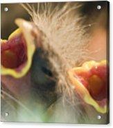 Nesting House Finch Chicks Carpodacus Acrylic Print by Rich Reid