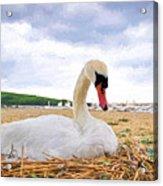Nesting Mute Swan At Abbotsbury - Impressions Acrylic Print