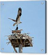 Nesting Osprey In New England Acrylic Print
