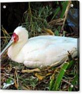 Nesting Spoonbill Acrylic Print