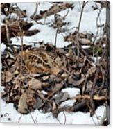Nesting Woodcock She Survived Her Eggs From The Snow Acrylic Print