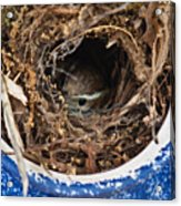 Nesting Wren Acrylic Print