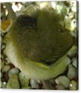 Nestling Bird Acrylic Print