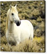 Nevada Wild Horses 3 Acrylic Print