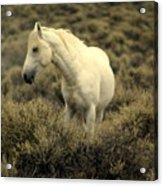 Nevada Wild Horses 4 Acrylic Print