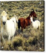 Nevada Wild Horses Acrylic Print by Marty Koch