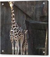 New Baby Giraffe Acrylic Print