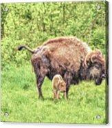 New Born Bison Acrylic Print