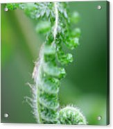 New Bracken Fern Acrylic Print by Neil Overy