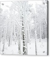 New England - Snow Covered Forest Acrylic Print