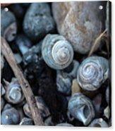 New England Beach Shells Acrylic Print