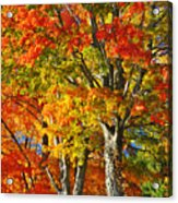New England Sugar Maples Acrylic Print