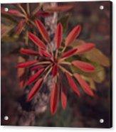 New Growth On A Shea Tree Acrylic Print