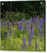 New Hampshire Lupines Acrylic Print