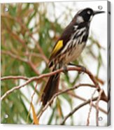 New Holland Honey-eater Acrylic Print