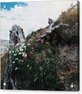New Life Mt Saint Helens Wa Acrylic Print