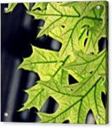 New Oak Leaves    Acrylic Print