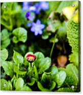 New Season For Bellis Perennis Bellissima Red Acrylic Print
