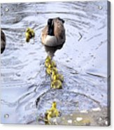 New Spring Baby Geese Acrylic Print