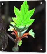 New Spring Leaf Acrylic Print