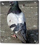 New York City Pigeons # Acrylic Print