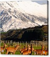 New Zealand Deer 3497 Acrylic Print
