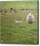 New Zealand Sheep Acrylic Print