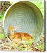 Newborn Fawn Finds Shelter In An Old Washtub Acrylic Print