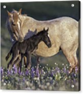 Newborn Filly At Dawn Acrylic Print